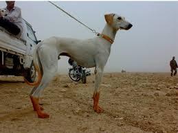 كلاب الصيد.. السلق.. أنواع كلاب الصيد بالصور..