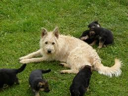 belgian sheepdog breeders in texas 43 best belgian laekenois images on pinterest belgian laekenois