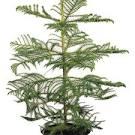Image result for Araucaria heterophylla