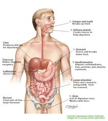 the digestive tract gallery human anatomy image