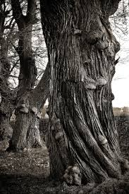 White Oak Bark Free Images Landscape Nature Forest Branch Black And White