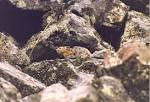 Mongolian Small Mammal Parasite Project
