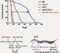 秀丽隐杆线虫实验显示联合突变可以使寿命延长