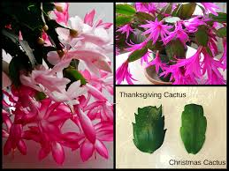 difference between christmas and thanksgiving thanksgiving cactus vs christmas cactus pictures to pin on
