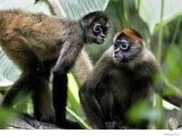القرد العنكبوت البني