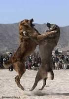 سگهای افغانستان