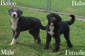 belgian sheepdog chow mix laplace la old english sheepdog meet baloo and babs a dog for