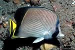 Image result for Chaetodon decussatus