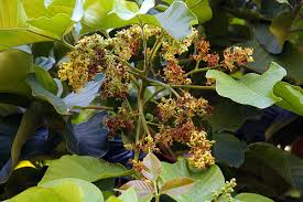 image of mature santol flowers, borrowed from t1.gstatic.com