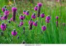 Image result for Dalea purpurea