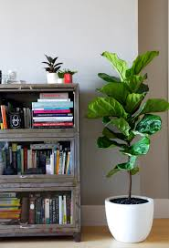 Best Office Desk Plants Top 5 Indoor Plants And How To Care For Them Fiddle Leaf Fig