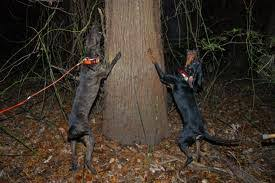 training a bluetick coonhound to hunt coonhound classifieds coonhounds u0026 coon dogs for sale