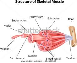 Structure Of Human Anatomy Muscle Anatomy Stock Images Royalty Free Images U0026 Vectors