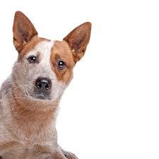 australian shepherd queensland heeler dog breed information america u0027s pet registry
