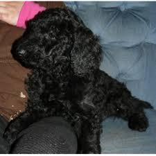 bluetick coonhound puppies for sale in ohio bogner acres poodle standard breeder in madison ohio