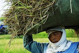 image of a Filipino farmer carrying palay harvest on his head, borrowed from t1.gstatic.com