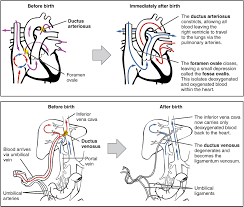 Anatomy And Physiology Of Lungs Adjustments Of The Infant At Birth And Postnatal Stages Anatomy