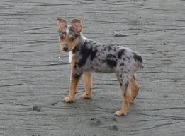 3 australian shepherd mix puppies for adoption texas heelers