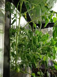 thyme to garden now more jelly bean tomatoes in the indoor grow box