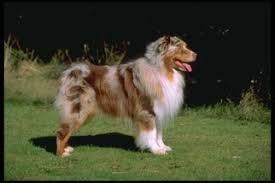 3 australian shepherd mix puppies for adoption australian shepherd puppies and dogs for sale in usa