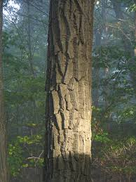 White Oak Bark Oak Trees Growing Guide For Using Acorns As Food