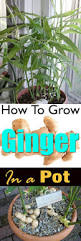 best 25 ginger plant ideas on pinterest growing ginger growing