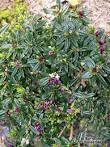Buy Daphne Tangutica plants by mail order from Burncoose Nurseries ...