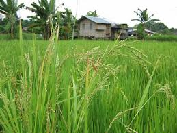image of a rice field in the philippines, borrowed from wn.com