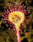 <b>Drosera</b>: A frequently
