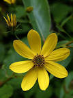 Image result for Coreopsis major