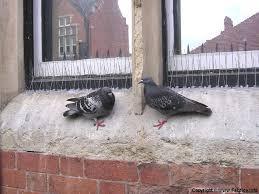 Pigeons Images?q=tbn:ANd9GcQ_DZR2oZYVILtH1HQkA1GiCwXFTnDFLsnijQoJakitL9M36tVl2A