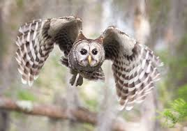 hear the many different hoots of the barred owl audubon