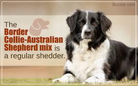 husky x australian shepherd for sale characteristics of the australian shepherd border collie mix