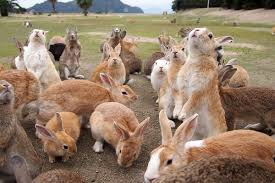 Unusual Animal Encounters in Japan Rakuten Travel Okunoshima  Japan     s Rabbit Island