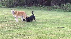 belgian sheepdog chow mix husky corgi horgi mix playing with belgian shepherd dogs youtube