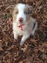 australian shepherd queen creek az agape australian shepherds available australian shepherd