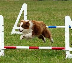 salto cães