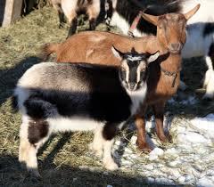goat farming business plan feasibility studies nigeria