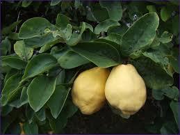 arbuste , plantes de nos jardin commestible .edible bush , smalltrees , plants Images?q=tbn:ANd9GcQchMxRhczwdHjA2djag0ZwsC39Si4_SFWU6JAxg7yMp2f0_C8&t=1&usg=__7Uw7zy1NAZBHZlJ42jhWh132IOU=