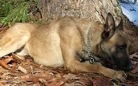 belgian shepherd nc canine training center raeford nc kranenburg canine training
