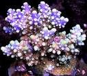 Image result for Acropora plumosa