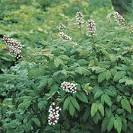 clutivars for genus <b>Actaea</b>