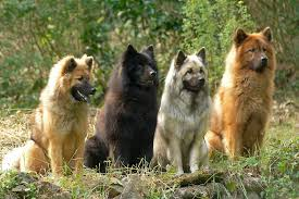 belgian sheepdog chow mix 11 more dog breeds you u0027ve probably never heard of the barkpost