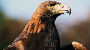 bbc radio 4 tweet of the day golden eagle
