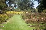 Golden Gate Park Rose Garden Arborcide – See the Destruction from ...