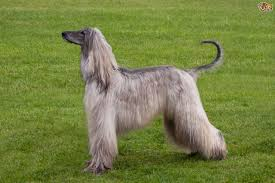 afghan hound long haired dogs afghan hound dog breed information buying advice photos and