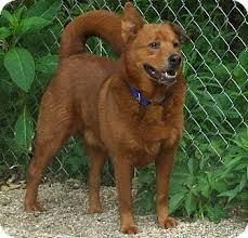 affenpinscher brown dudley adopted dog fennville mi chow chow labrador