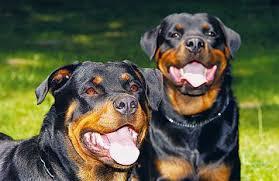 لمنع الغش في تجارت الكلاب كل نوع وصفاته Images?q=tbn:ANd9GcQhhh0v6x2bS6GLvIhaMZhNFrmxReL7gNuWYQWMHH01-TJD-3bZ