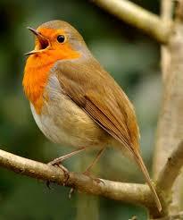 robin-bird.jpg