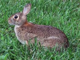 How Do You Get Rid Of Possums In The Backyard by Rabbits How To Identify And Get Rid Of Rabbits Garden Pest